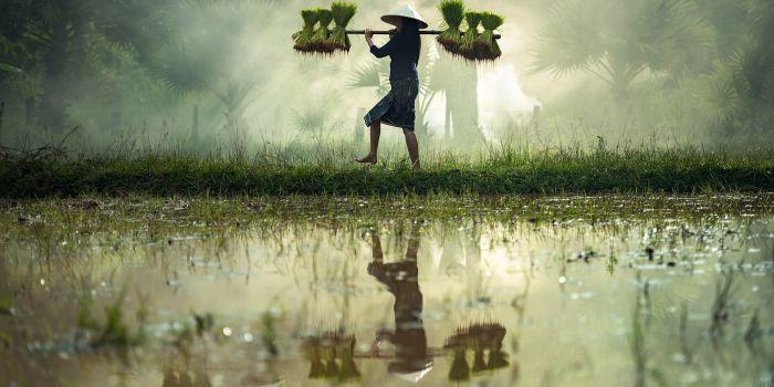 Тонна соломы с тонны риса может стать биотопливом