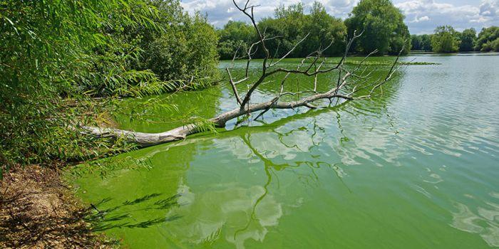 Цианобактерии на поверхности водоема. Фото: Shutterstock